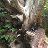 2013-09-13 - A fallen anciet tree in the Patriarchs Grove at Mt Rainier National Park, WA, USA